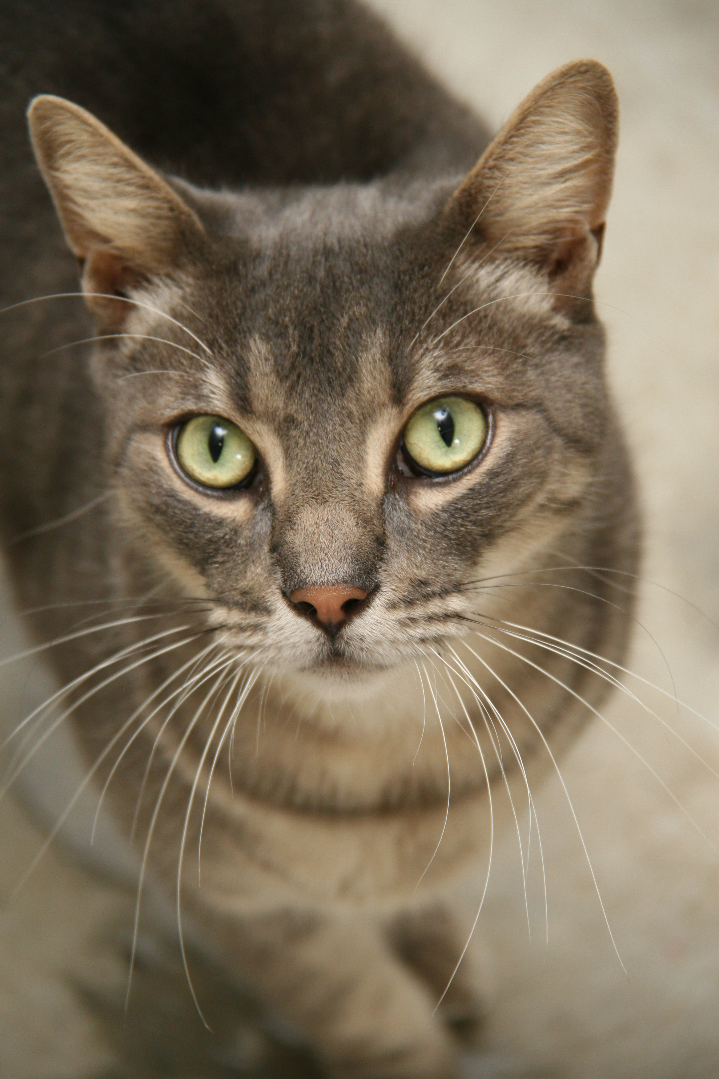 How Old Can A Male Cat Be Neutered