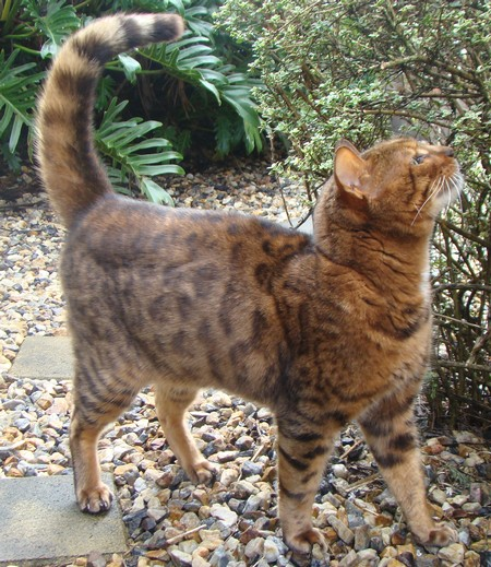 Romy – 9 Year Old Male Bengal Cat | Little Paws Kitten Rescue